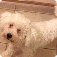 Adopt A Pet :: Dijon - Houston, TX