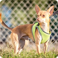 Adopt A Pet :: Pistol - Evansville, IN