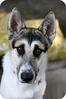 Husky/German Shepherd Dog Mix Dog for adoption in Studio City, California - Stunning SKYE