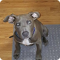Adopt A Pet :: Lemmy - Eastpointe, MI
