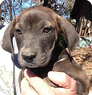 Labrador Retriever Mix Puppy for adoption in Hartford, Connecticut - Bindi