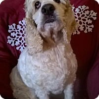 Cocker Spaniel Dog for adoption in Campbell, California - Sally