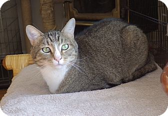 Domestic Shorthair Cat for adoption in Quail Valley, California - Yuri
