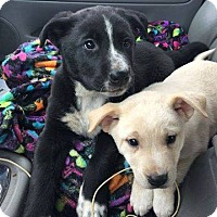 Adopt A Pet :: Frost - greenville, SC