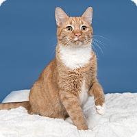 Adopt A Pet :: Patina (Tigger) - Wilmington, DE