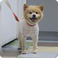 Adopt A Pet :: Bablu (Sweet + Calm) - Santa Monica, CA