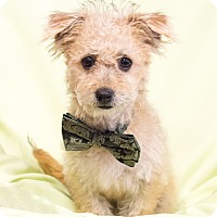 Adopt A Pet :: Angus - Chandler, AZ