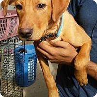Adopt A Pet :: Chachi - Centerville, GA