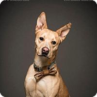 Adopt A Pet :: Pharoah - Blacklick, OH