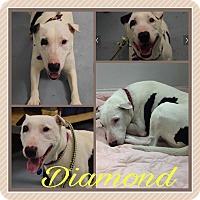 Adopt A Pet :: Diamond - Colmar, PA
