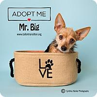 Adopt A Pet :: Mr. Big - Friendswood, TX