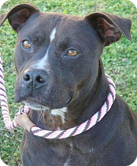 American Pit Bull Terrier Mix Dog for adoption in Red Bluff, California - Suzie Q- $45 Adoption Fee!!