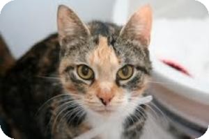 Calico Cat for adoption in East Brunswick, New Jersey - Princess