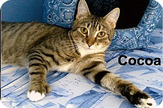 Domestic Shorthair Kitten for adoption in Medway, Massachusetts - Cocoa
