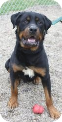 Rottweiler Dog for adoption in Bloomsburg, Pennsylvania - Homer
