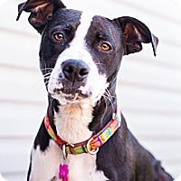 Adopt A Pet :: Gracie - Sinking Spring, PA