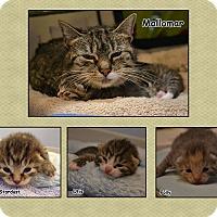 Adopt A Pet :: Mallomar - Oyster Bay, NY