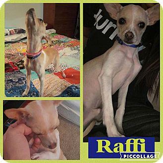 Chihuahua Dog for adoption in waterbury, Connecticut - Raffi