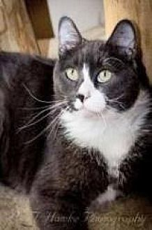 Domestic Shorthair Cat for adoption in Milwaukee, Wisconsin - Hoover