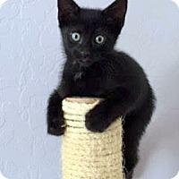 Adopt A Pet :: Bagheera - Chandler, AZ