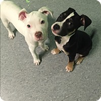 Adopt A Pet :: Henry and Charlie - Long Beach, NY