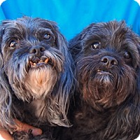 Pekingese/Poodle (Miniature) Mix Dog for adoption in Las Vegas, Nevada - Bingo