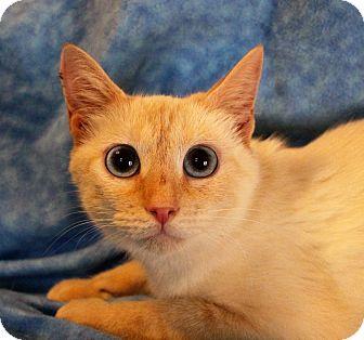 Siamese Cat for adoption in Greensboro, North Carolina - Moulan