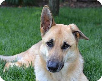 German Shepherd Dog Dog for adoption in Kansas City, Missouri - Brooklyn