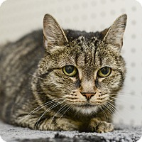 Domestic Shorthair Cat for adoption in Whitehall, Pennsylvania - Baby