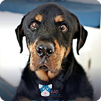 Adopt A Pet :: Obi - Tucson, AZ