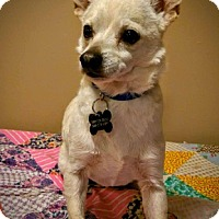 Chihuahua Dog for adoption in Ardmore, Oklahoma - Jimmy