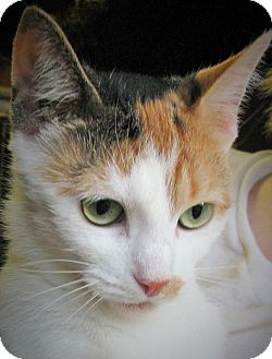 Domestic Shorthair Cat for adoption in Bedford, Virginia - Penelope