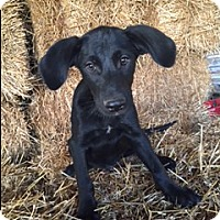 Labrador Retriever Mix Puppy for adoption in Medina, Tennessee - Cooper