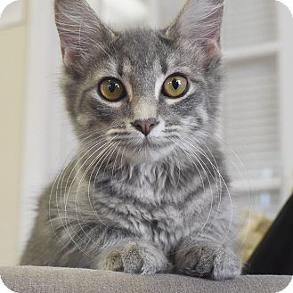 Domestic Shorthair Kitten for adoption in Marietta, Georgia - Applejack