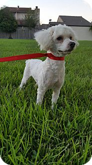 Poodle (Miniature) Mix Dog for adoption in Seattle, Washington - BAMBI