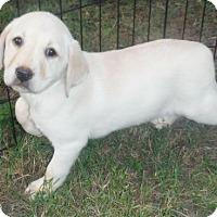 Adopt A Pet :: Lobo - Venice, FL