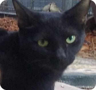 Domestic Mediumhair Cat for adoption in Yorba Linda, California - Salem