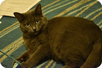 Russian Blue Cat for adoption in THORNHILL, Ontario - KNEESAA