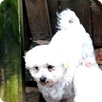 Adopt A Pet :: Roni - Holland, OH