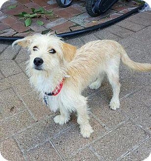 Terrier (Unknown Type, Medium) Mix Dog for adoption in Houston, Texas - Peanut Brittle