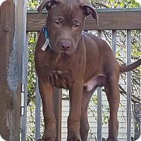 Adopt A Pet :: Pumpernickle - Sugar Grove, IL