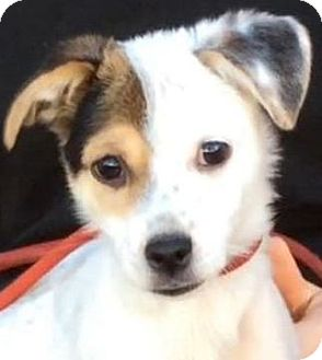 Jack Russell Terrier/Chihuahua Mix Puppy for adoption in Los Angeles, California - SKEETER (video)