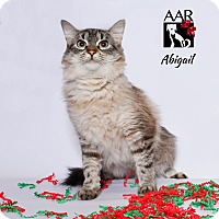 Siamese Cat for adoption in Tomball, Texas - Abigail