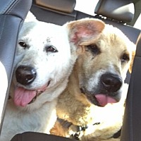 Labrador Retriever/Shepherd (Unknown Type) Mix Dog for adoption in Dana Point, California - Foxy & Baby