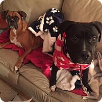 Adopt A Pet :: Dude - Villa Park, IL