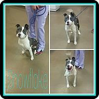 Adopt A Pet :: Snowflake - Steger, IL