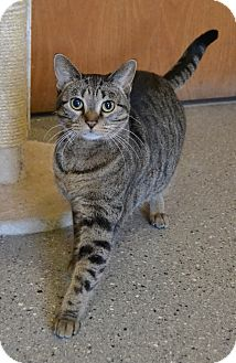 Domestic Shorthair Cat for adoption in Michigan City, Indiana - Rabbit