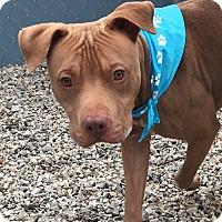 Adopt A Pet :: Choco Taco - Greensboro, NC