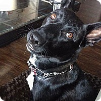Adopt A Pet :: Cambi - Charlotte, NC