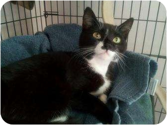 Domestic Shorthair Cat for adoption in Berkeley Hts, New Jersey - Faith